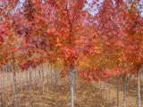 【供】 美国红枫树价格行情