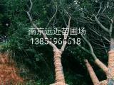 南京批发价18/20/25公分朴树