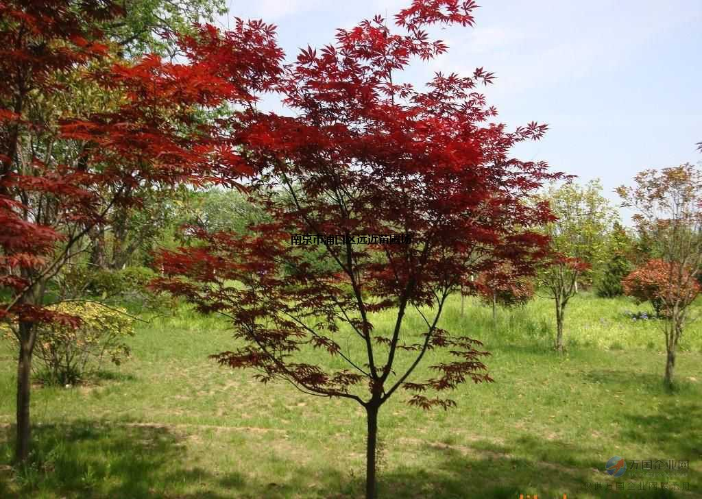 南京红枫基地4公分红枫发货价格