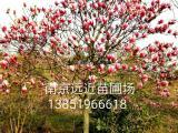 红玉兰基地批发1-15公分红玉兰苗木产品
