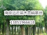 全冠移植12公分香樟树上车价格