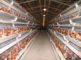 全自动笼养鸡设备