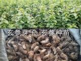 玄参种植技术 玄参种苗 玄参苗价格
