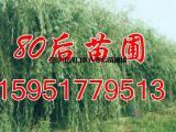10公分垂柳价格 垂柳树价格明细表