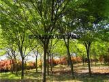 10公分榉树价格 榉树价格参考表