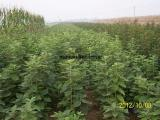 1米翅果油苗,2年翅果油苗,三年翅果油苗,1米翅果油苗