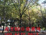 江苏榉树20公分价格报价