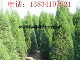 2米5蜀侩,3米蜀侩树苗,3米蜀侩,2米5蜀侩,3米蜀侩价格