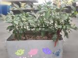 基质栽培箱 无土栽培设备 客厅种菜 楼顶菜园代攀爬架
