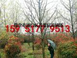 12公分美国红枫2018价格行情表