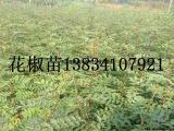 1年花椒苗,大红袍1年花椒苗,1年花椒苗价格,50公分花椒苗