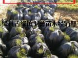 白皮松小苗价格=30公分40公分50公分白皮松小苗价格