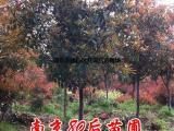 8公分红叶石楠价格 红叶石楠树价格表