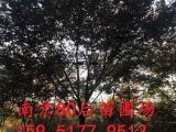 江苏榉树20公分价格