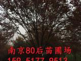 15公分榉树价格 红榉树价格表