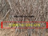 大量供应各种规格占地山楂树=8-10-12-15公分山楂树