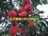 山西红不软桃树苗培育基地 1年-2年桃树苗价格