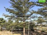 高品质全冠小叶榄仁,小叶榄仁移植苗种植场,小叶榄仁地苗种植户
