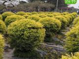黄金宝树球,黄金宝树球盆苗报价,黄金宝树球袋苗种植场