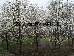 白玉兰价格【更新】南京白玉兰树价格