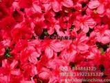 E127赤藓红进口|佳颖贸易|E127赤藓红食用