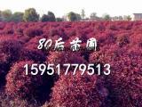 1米红叶石楠球价格 红叶石楠价格表