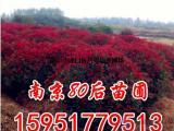 1米5红叶石楠球价格单价参考