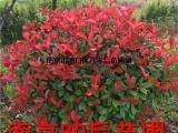 2米红叶石楠球价格 红叶石楠价格介绍