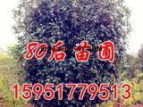3米桂花价格 桂花树价格报价介绍