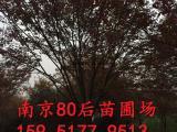 22公分榉树价格 红榉树价格参考