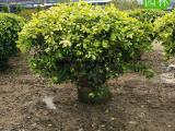 黄金榕球,高品质黄金榕球供应商,黄金榕球大型苗圃