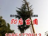 8米高雪松单价是多少钱