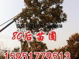 13公分广玉兰2018年价格报价多少钱