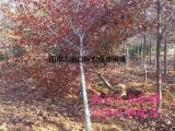 北美红栎树价格《介绍》