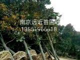 广玉兰树价格广玉兰种植经验