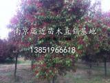 地径4公分红叶石楠树信息