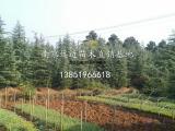 供应米径10公分枫香上车价
