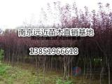 南京红叶李苗圃基地价格参照表
