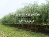 青皮柳树价格/2-8公分垂柳价格更新