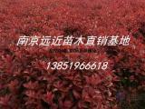 冠幅1米2红叶石楠球价格