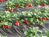 供应草莓苗_草莓苗价格基地_出售草莓苗