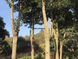 香樟自产自销 香樟绿化工程苗木 大骨架香樟树