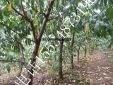 出售占地桃树_5公分桃树_8公分桃树_10公分占地桃树