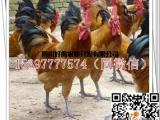 土鸡苗公司公鸡