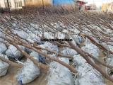 成活率高金丝枣树苗批发价格