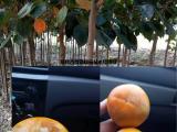 供应占地柿子树=8公分柿子树=10公分柿子树=15公分柿子树