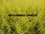 金叶榆小苗厂家批发 多规格金叶榆供应存活率高