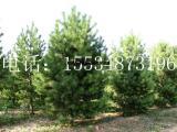 供应2米-2.5米油松/2米-2.5米油松价格/2米油松
