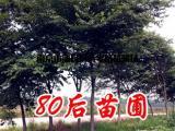 16公分红榉树价格报价行情表