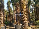 中东海枣(银海枣)供应商,棕榈树苗木批发